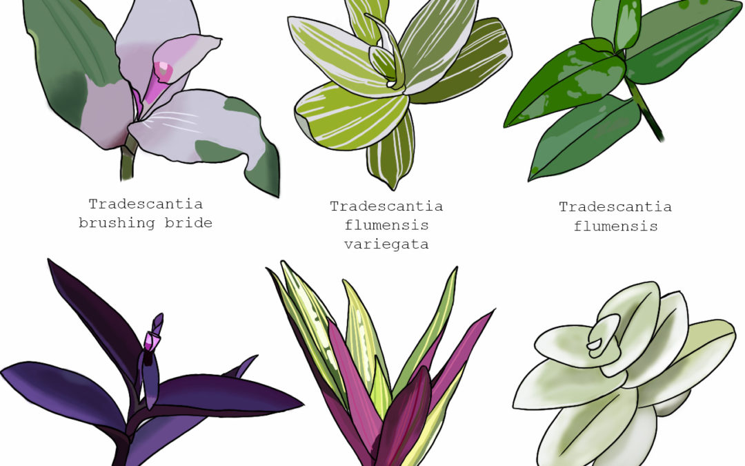 La classification des plantes // phylogénie illustrée
